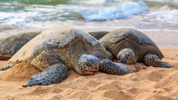 ラニアケアビーチ【ウミガメ遭遇率No.1!おすすめ時期や時間、駐車場について】