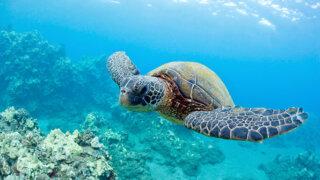 ハワイの人気ウミガメビーチTOP5【ガイドブックに載らない穴場スポットもご紹介】